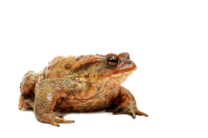 Old Ugly Frog